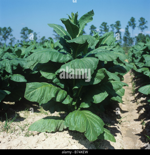 plant tobacco How to grow tobacco (nicotiana rustica), plant pictures and planting care instructions supplied by real gardeners.