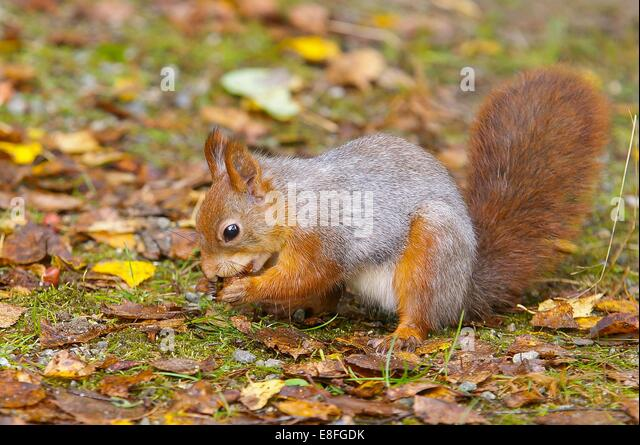 Nut stock photos nut stock images alamy - Squirrel nut crackers ...