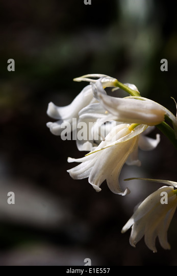 Close up white bluebell like flowers stock photos close up white close up of white bluebell like flowers stock image mightylinksfo Gallery