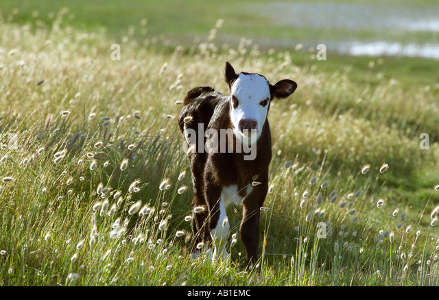 Holstein Friesian Calf Cute Holstein F...