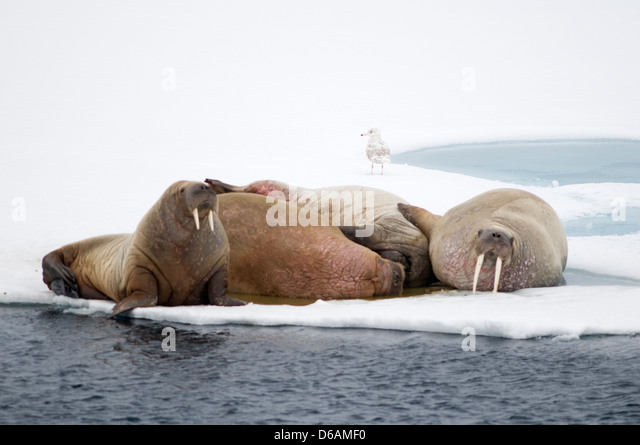 Odobenus Rosmarus Sleeping Stock Photos Odobenus