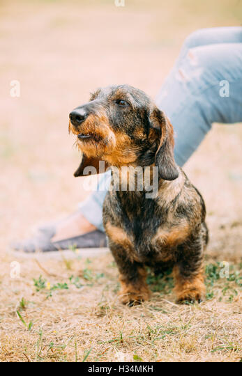 how to stop a dachshund from barking