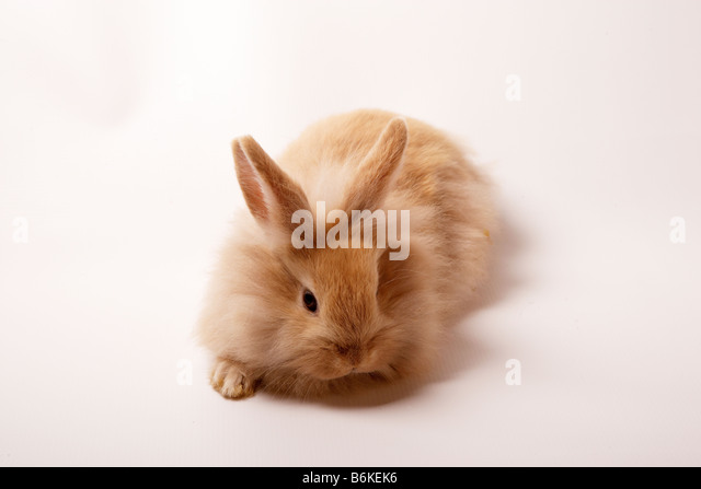 Lionhead Rabbit Stock Photos & Lionhead Rabbit Stock ...