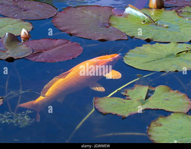 Koi carp pond stock photos koi carp pond stock images for Carp fish pond