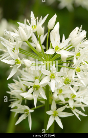 allium ursinum salad stock photos allium ursinum salad. Black Bedroom Furniture Sets. Home Design Ideas