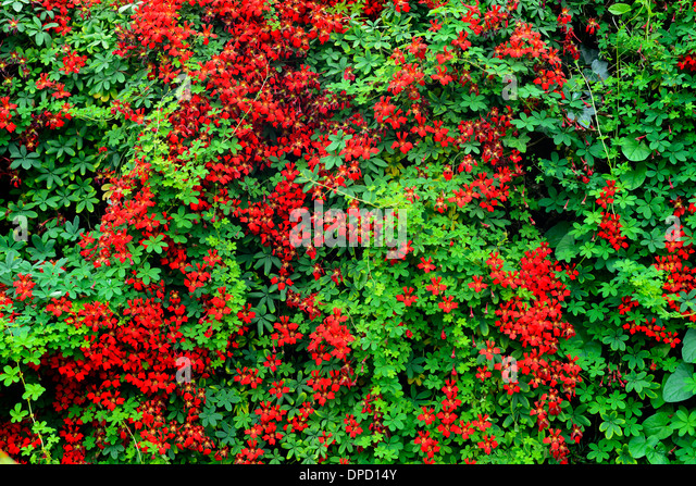 how to grow tropaeolum tricolor