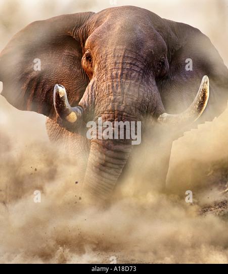 angry elephant charging wwwimgkidcom the image kid