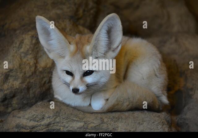 Bat-Eared Fox | African Wildlife Foundation