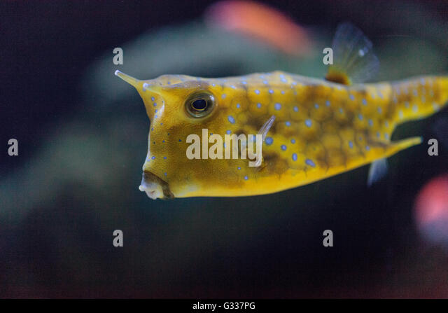 longhorn cowfish lactoria cornuta is from the boxfish family and can be found in