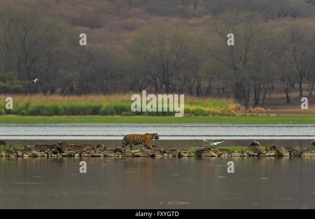 Tigress Family Cub Cat Stock Photos &- Tigress Family Cub Cat Stock ...