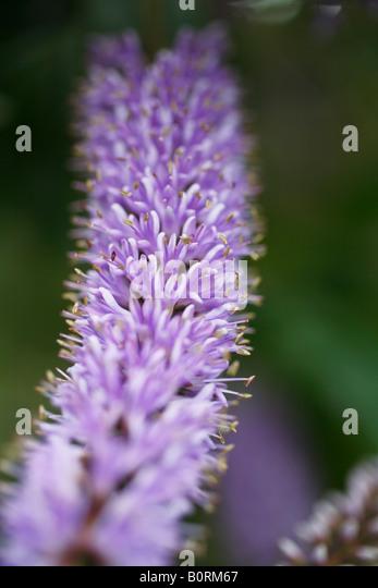 Close Up Hebe Shrub Flower Stock Photos & Close Up Hebe ...
