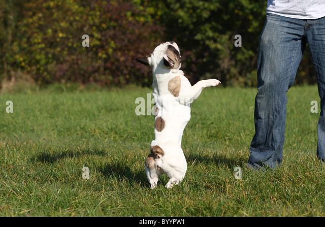 French bulldog jumping