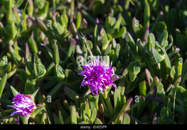 Purple flower san francisco california stock photos for Purple flower shrub california