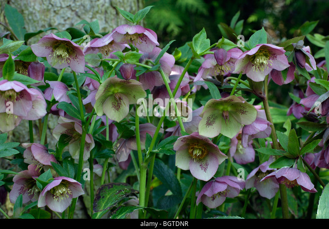 hellebore orientalis hybrid helleborus stock photos hellebore orientalis hybrid helleborus. Black Bedroom Furniture Sets. Home Design Ideas