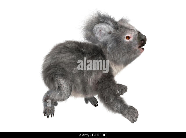 Koala Bear Cut Out Stock Images  Pictures  Alamy