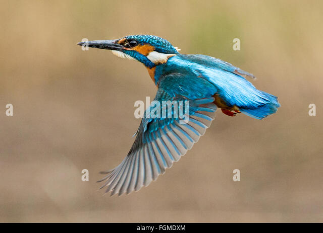 Kingfisher Flying Kingfisher Flyi...