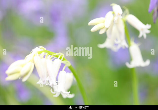 Close up white bluebell like flowers stock photos close up white a beautiful close up of white bells in a field of bluebells jane ann butler photography mightylinksfo Gallery