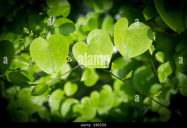 heart shaped leaves stock photos heart shaped leaves stock images alamy. Black Bedroom Furniture Sets. Home Design Ideas