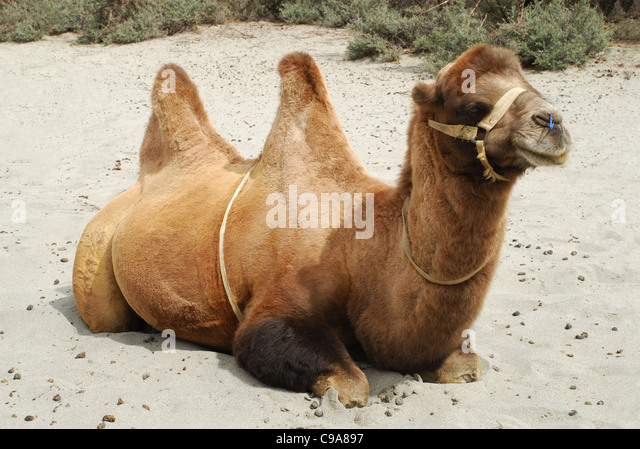 how to cut a shaggy haircut two humped camels stock photos amp two humped camels stock 6172 | a shaggy bactrian two humped camel which are shorter and stouter their c9a897