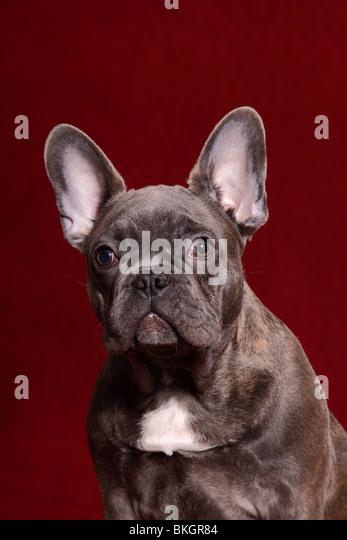 Wei?e franzosische bulldogge