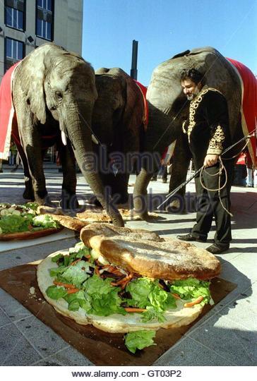 Elephants of the Bouglione Circus taste a giant vegetarian hamburger ...