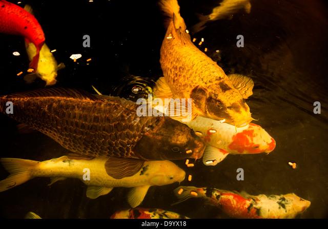 Domesticated common carp stock photos domesticated for Feeding koi carp