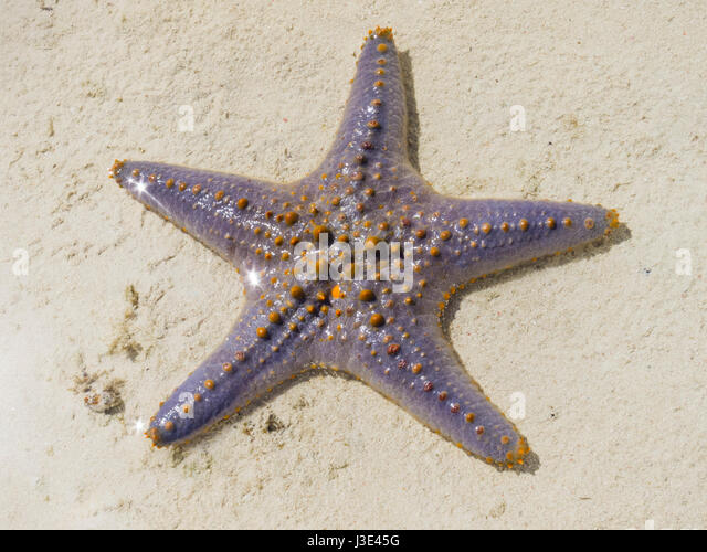 Indian Ocean Starfish Stock Photos & Indian Ocean Starfish ...