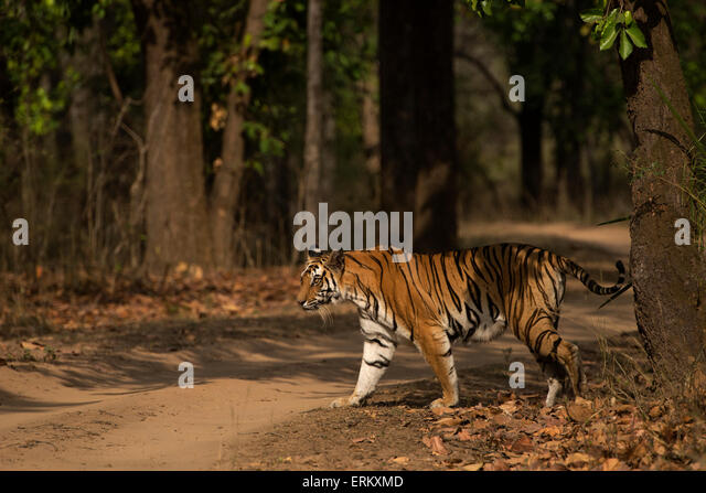 Nice Zone Marking Stock Photos  Zone Marking Stock Images  Alamy With Fascinating The Rajbehra Female Crossing A Vehicle Track After Spraymarking A Tree In  The Magadhi With Lovely The Garden Builders Also Childrens Garden Playhouse In Addition Garlic Garden And Garden Clearance Glasgow As Well As Alianthos Garden Additionally Kew Garden Membership From Alamycom With   Fascinating Zone Marking Stock Photos  Zone Marking Stock Images  Alamy With Lovely The Rajbehra Female Crossing A Vehicle Track After Spraymarking A Tree In  The Magadhi And Nice The Garden Builders Also Childrens Garden Playhouse In Addition Garlic Garden From Alamycom