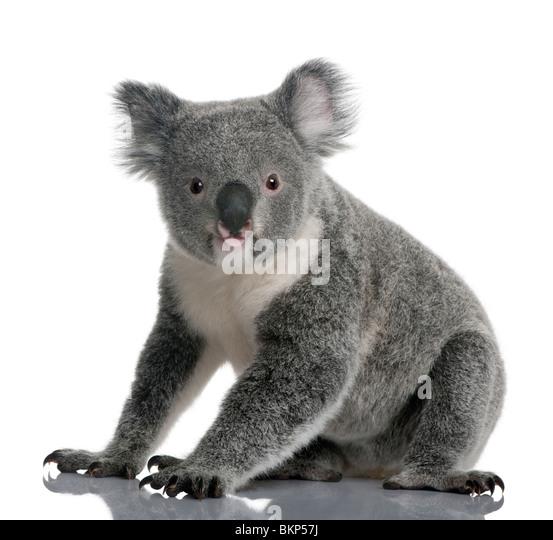 Koala Bear Stock Photos  Koala Bear Stock Images  Alamy