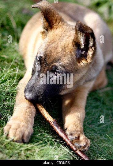 Belgian German Shepherd Stock Photos & Belgian German ...