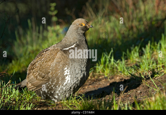 Blue Grouse Stock Photos & Blue Grouse Stock Images - Alamy