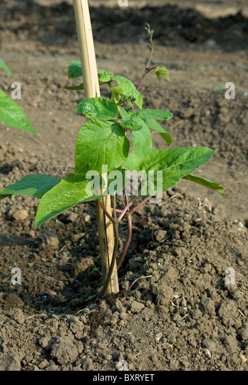 Bean support stock photos bean support stock images alamy for Soil support