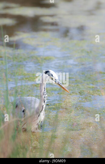 Heron in impressionist style - Stock Image