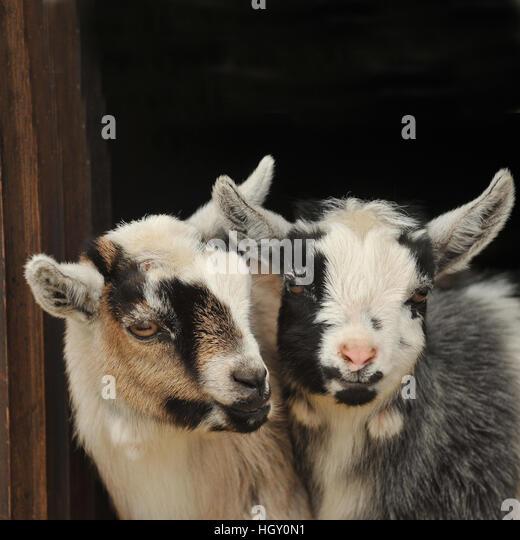 Pygmy Goats Stock Photos & Pygmy Goats Stock Images - Alamy