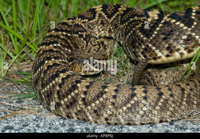 Rattlesnake Face Painting
