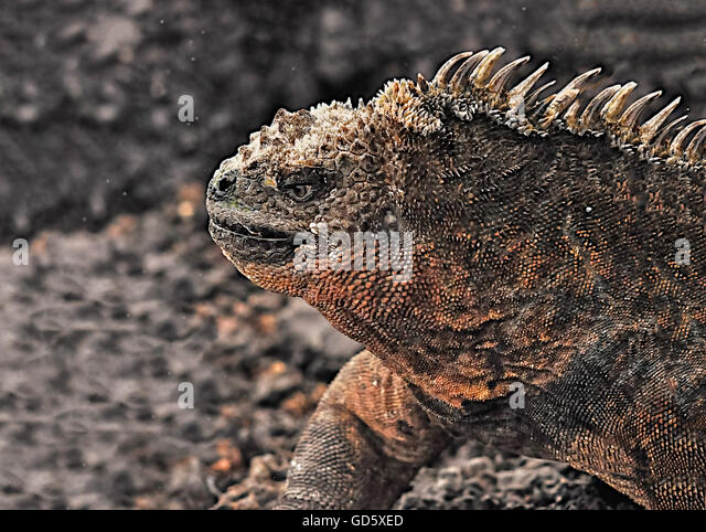 evolution island iguana experiment Marine iguana (amblyrhynchus cristatus) populations in the galápagos exhibit 10-fold differences in body mass between island populations there is also strong sexual size dimorphism, with males.