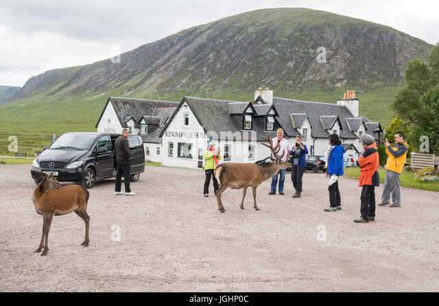 tourists in Scotland with red deer in Glencoe - Stock Image