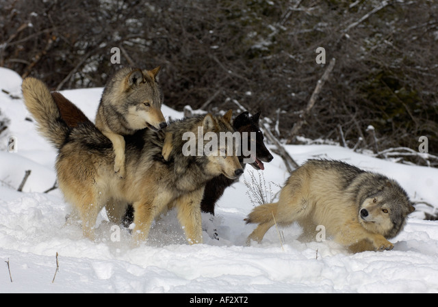 http://l7.alamy.com/zooms/804afa3e9ba244faa2c3516d4de8c138/north-american-timber-wolf-canis-lupus-pack-asserting-hierarchy-montana-af2xt2.jpg Gray