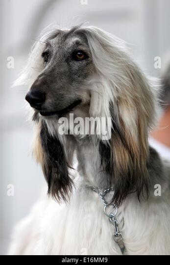 Afghan Shepherd: Hound Dog Portrait Side View Stock Photos & Hound Dog