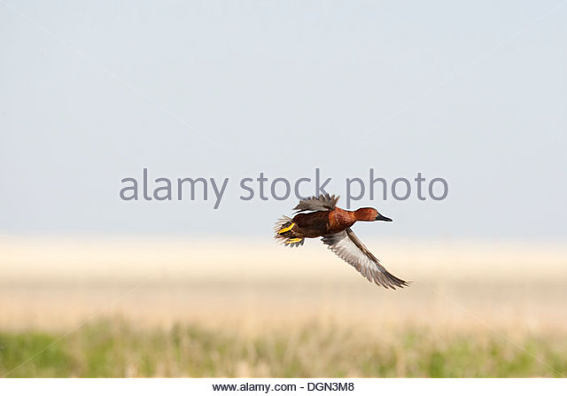 Cinnamon teal flying