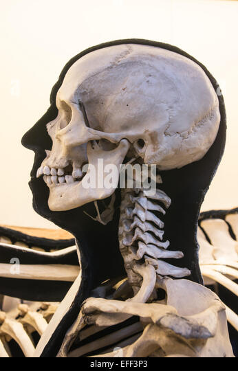 museum human skeleton stock photos & museum human skeleton stock, Skeleton