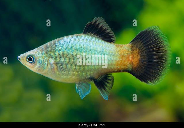 southern platyfish (Xiphophorus maculatus), breed Wagtail Neon Green ...