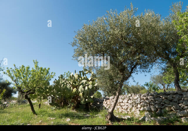 Olive picking italy puglia stock photos olive picking for What to plant under olive trees