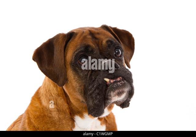 Angry boxer dog teeth - photo#25