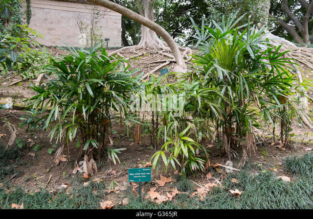 Rhapis stock photos rhapis stock images alamy for Bodas jardin botanico malaga