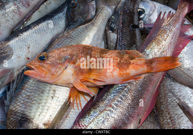 Trawling catch stock photos trawling catch stock images for Sea perch fish
