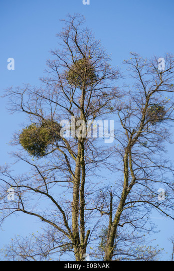 Mistletoe On Beech Tree Home Park Kingston Surrey England London