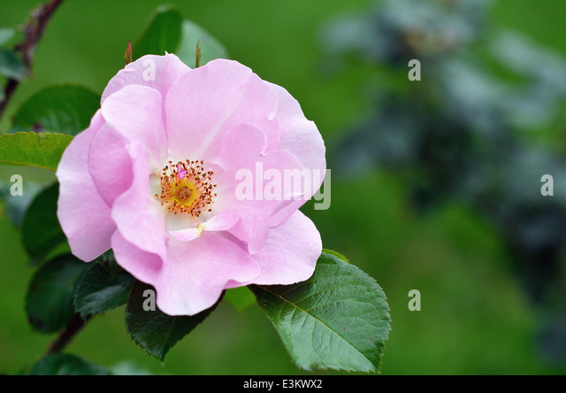 wild rose jewish singles Wild roses: the native roses and naturalized roses of north america by gloria cole (gloria125) september 7,  the flowers of native roses are nearly all single five petalled blooms.