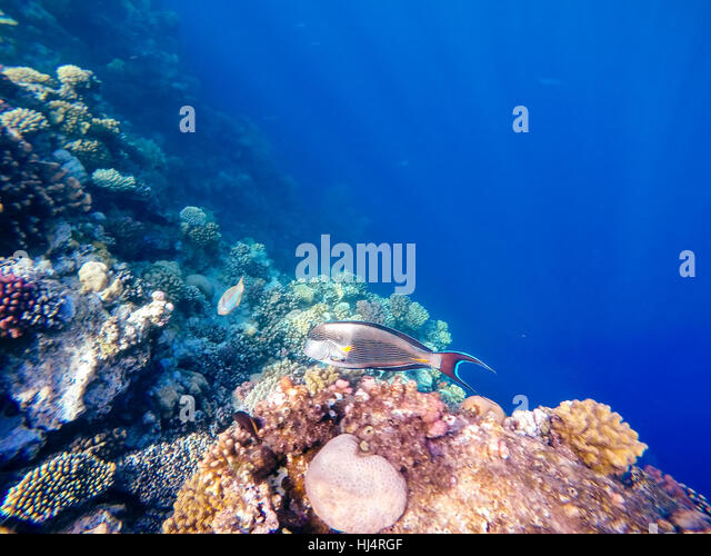 Acanthurus sohal stock photos acanthurus sohal stock for Other fish in the sea