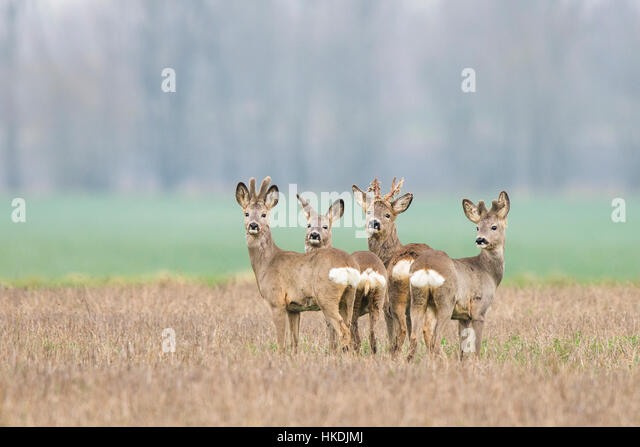 Looking back stock photos looking back stock images alamy for Deer scenery